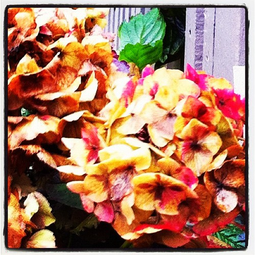 Hydrangea #flower reveals its mortality as #vancouver #winter closes in for the kill.