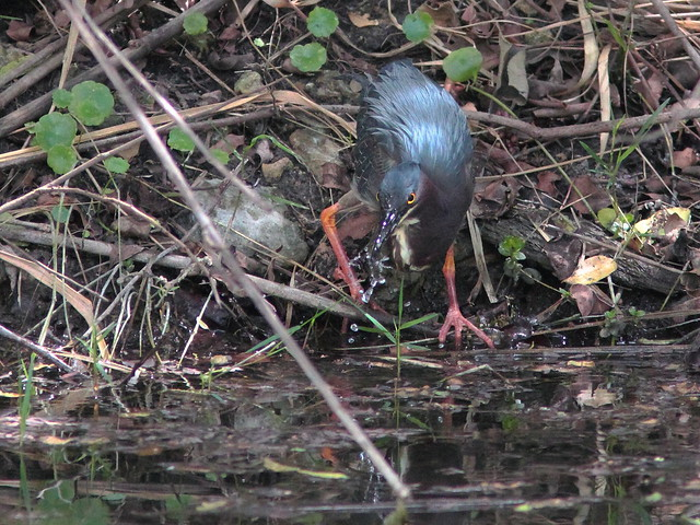 Released Green Heron drinking 20120327