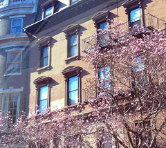 Magnolias in Boston Back Bay (Posterized) by randubnick