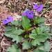 Viola triloba- 3 lobed violet