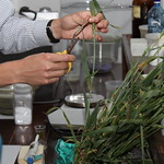 Collecting infected wheat tissue in lab for use in stem rust inoculation