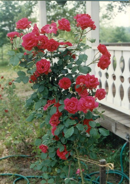 how to grow old world sparrieshoop rose