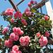 Climbing Roses In The Demonstration Garden