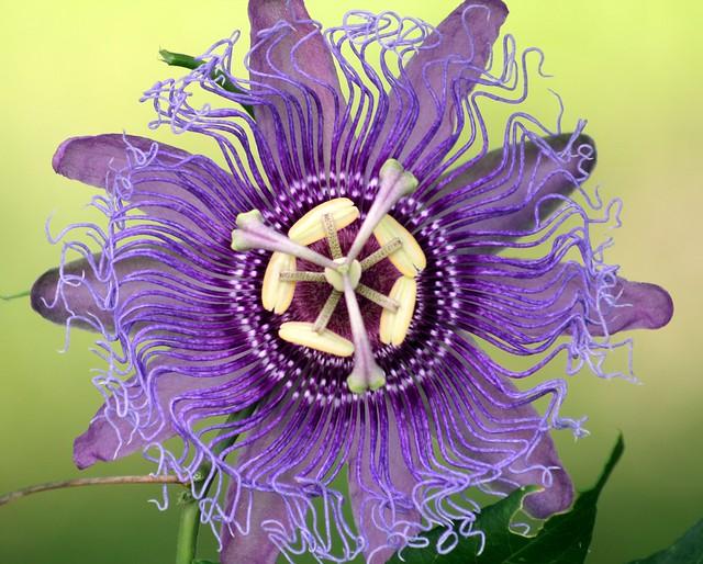 Passionflower  #28: PASSIFLORA INCENSE  #1
