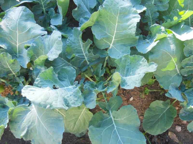Brassica oleracea 'Italica' 1