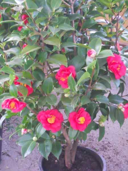Camellia japonica 'Comte de Gomer' v 3