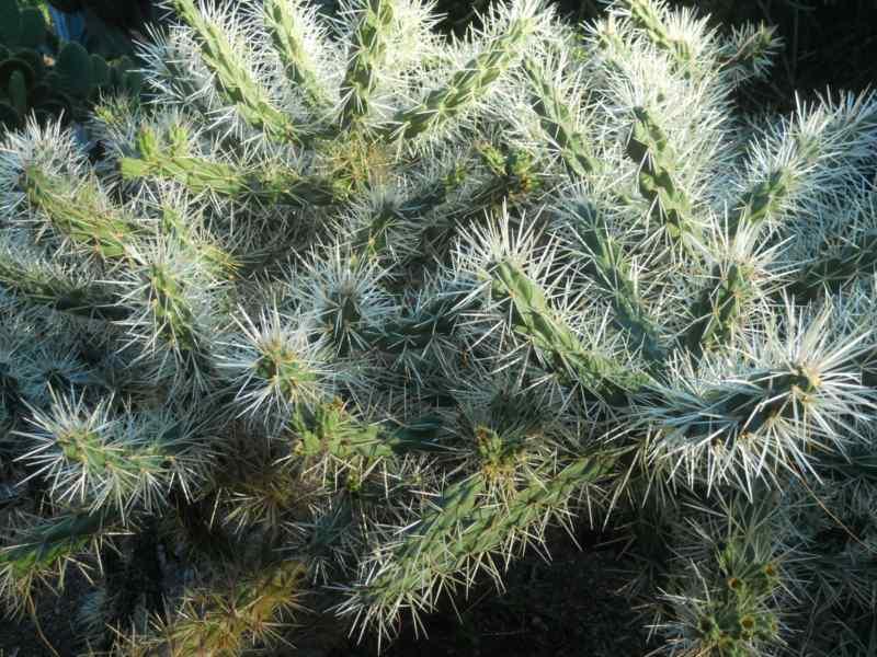 Opuntia tunicata 1