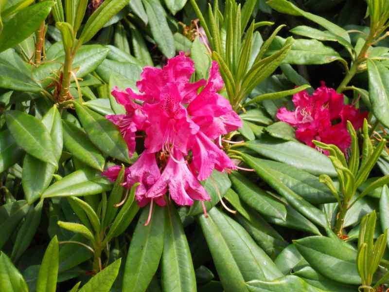 Rhododendron x 'Tina Heinje' 5