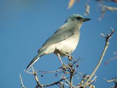 Mexican Jay, Madera Canyon, AZ