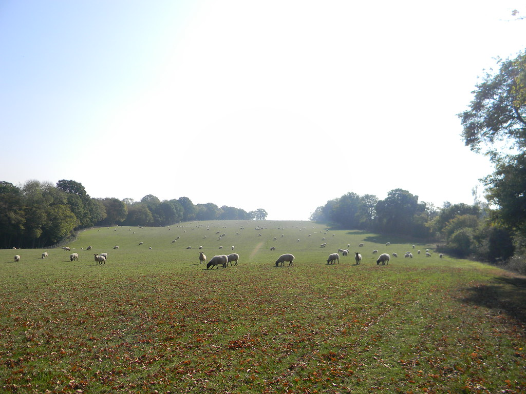 Sheep in a field. Ham Street to Appledore