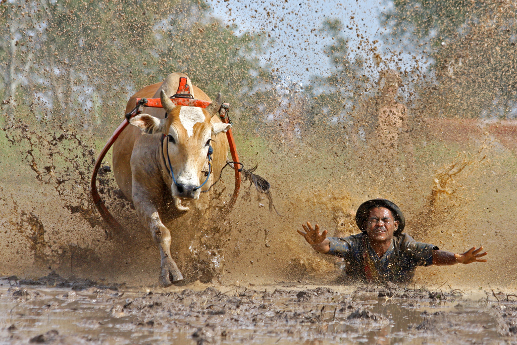 Cow Race ~ The fall