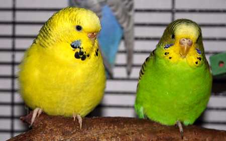 Texas Clearbody Budgie