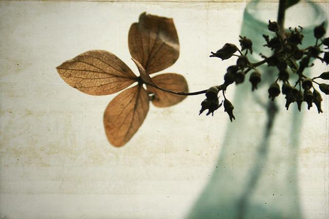 Hydrangea {Explored}