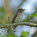 Asian Brown Flycatcher ^^^