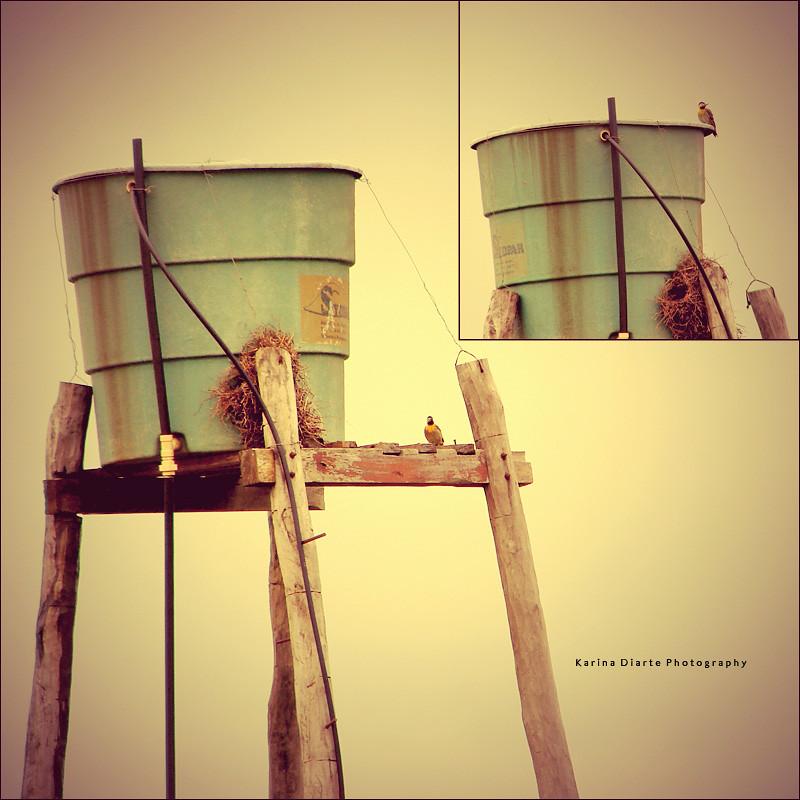 Carpintero Campestre / Field Flicker