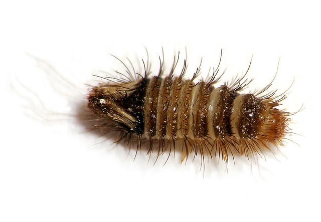 Maryland Biodiversity Project Varied Carpet Beetle