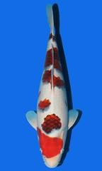 Maruju Ai Goromo 47cm