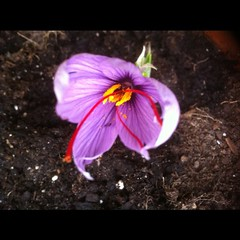 My first saffron crocus