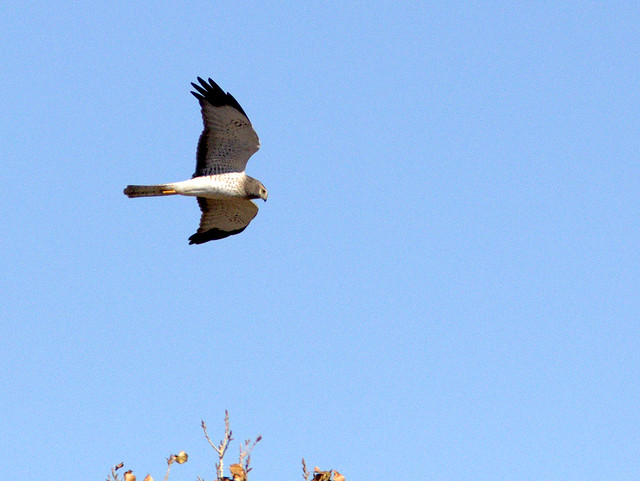 Northern Harrier male 20111110