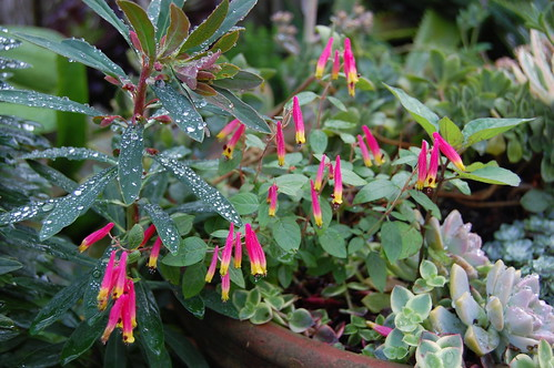 "Cuphea cyanea ""Pink Cigar Plant"""