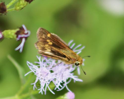 "grande state tx skipper lepidoptera park"" sachem llano weslaco atalopedescampestris county"" grande"" ""estero ""hidalgo"