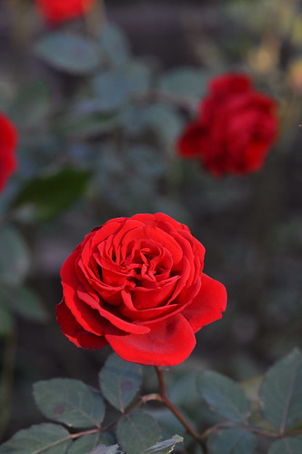 The rose of a park