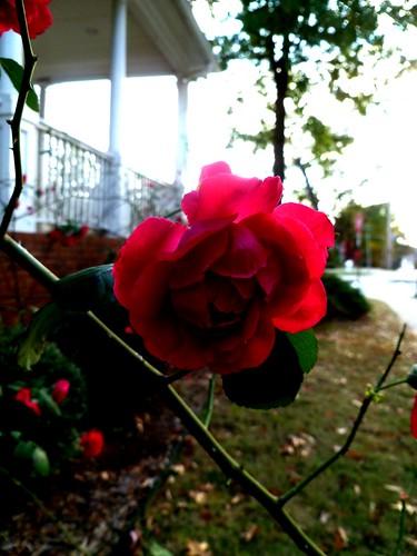 The last roses of November