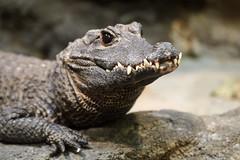 Toothy Crocodile