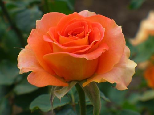 秋が似合う?オレンジ色の薔薇