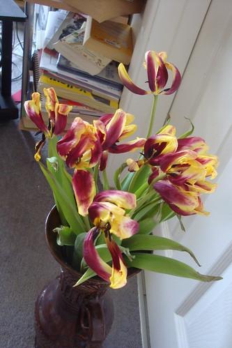 Tulipes fanées sur blanc (11) width=