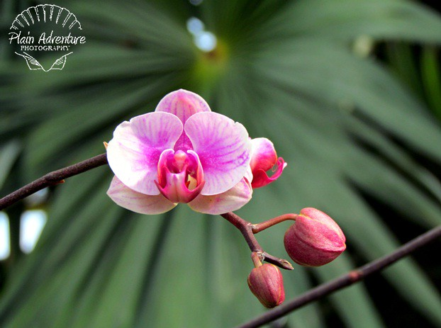 Flora Photography Number 25- Pink Orchid