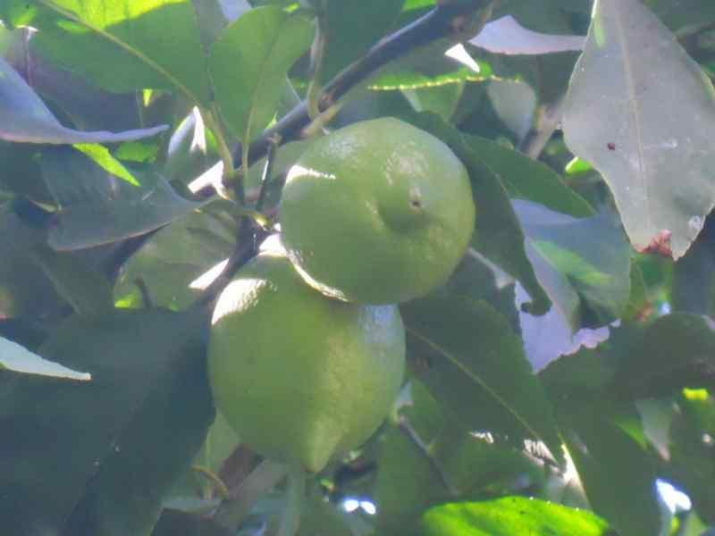 Citrus limon 'Mesero' 3