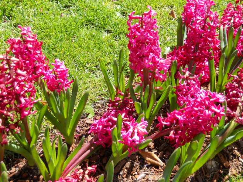 Jardineros en acci n cultivo y cuidados del jacinto - Jacinto planta cuidados ...