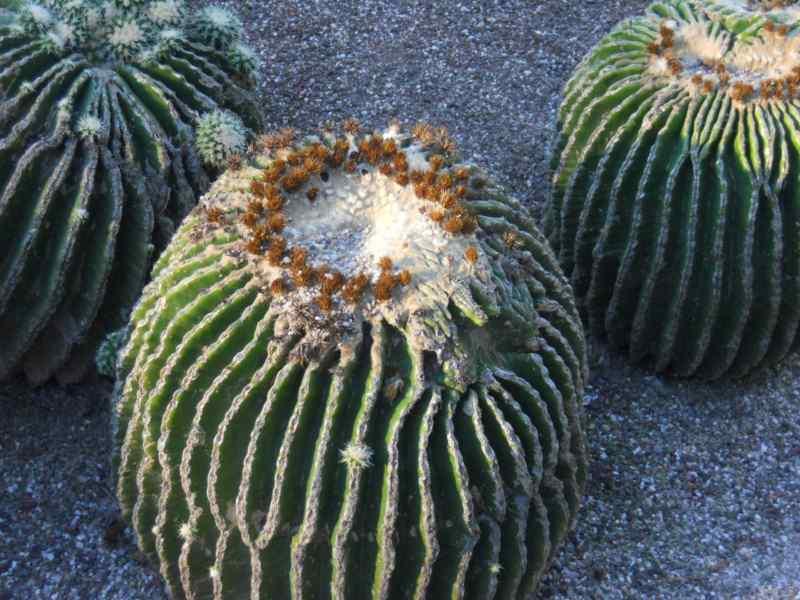 Echinocactus grusonii 'Subinermis' 2