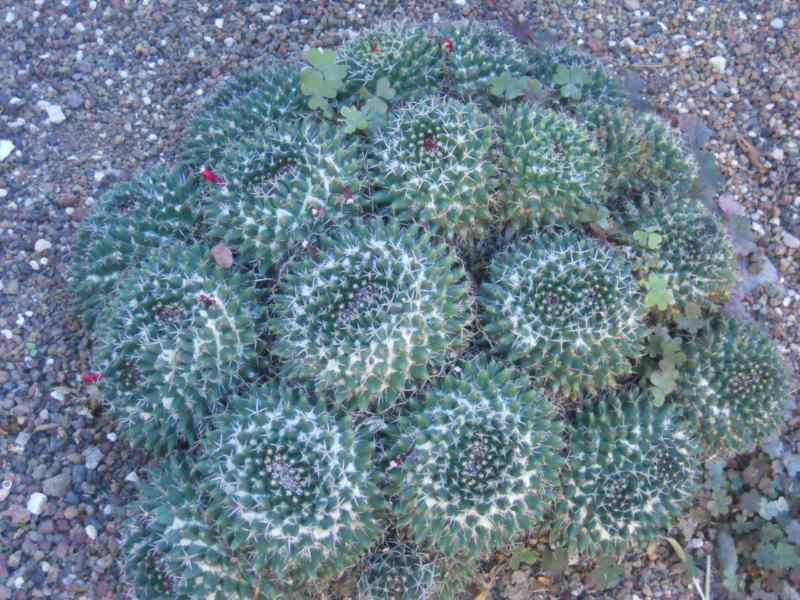 Mammillaria karwinskiana 'Mart' 2