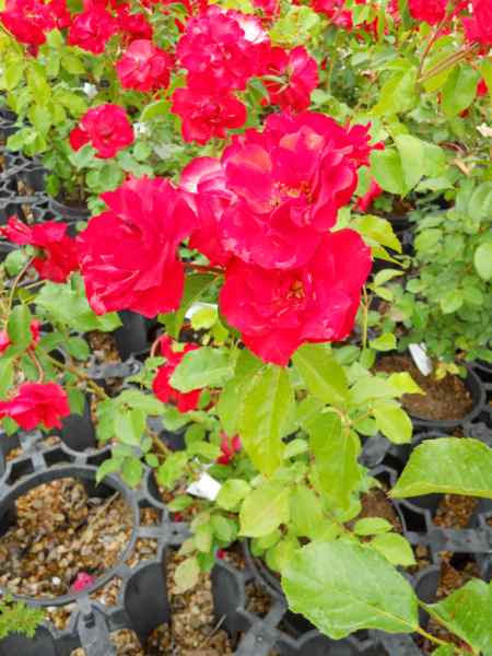 Rosa 'Sevillana' v 1