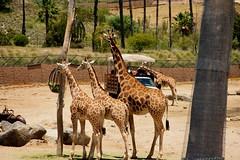 zoo, recreation, giraffe, fauna, giraffidae, safari, wildlife,