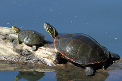 box turtle(0.0), loggerhead(0.0), common snapping turtle(0.0), chelydridae(0.0), leatherback turtle(0.0), emydidae(0.0), sea turtle(0.0), animal(1.0), turtle(1.0), reptile(1.0), marine biology(1.0), fauna(1.0),