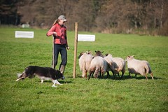 animal sports, animal, farm, dog, grass, pet, mammal, dog walking, herding, meadow, pasture, rural area,