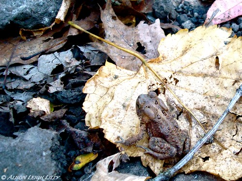 Autumn Toad