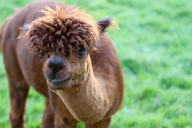 Llamas With Afros disco lama   Ex...