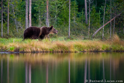Bear by Lake