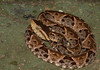 "<a href=""http://www.flickr.com/photos/briangratwicke/6274612425/"">Photo of Bothrops asper by Brian Gratwicke</a>"