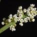 Small photo of Leptomeria preissiana