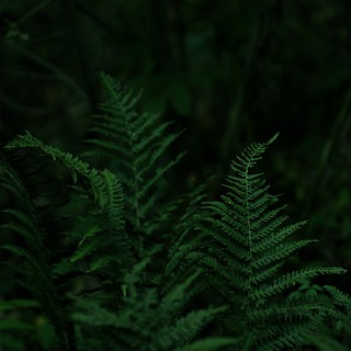 Farne im Wald - ferns at a forest