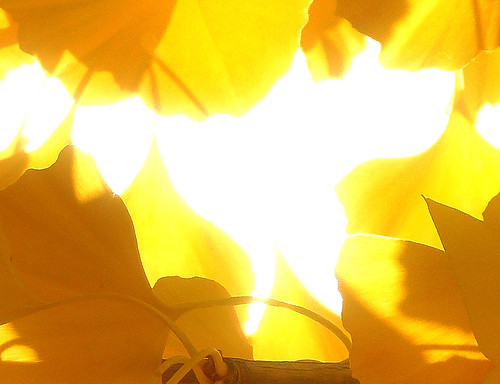 Ginko leaves with sun behind TfXed 1.jpg