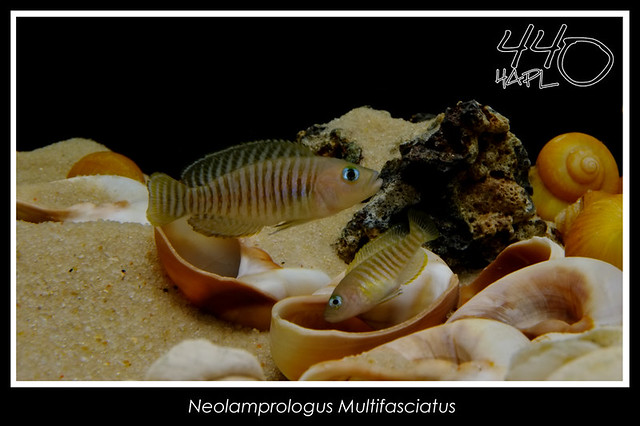 Neolamprologus Multifasciatus Flickr - Photo Sharing!