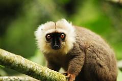 gibbon, animal, primate, fauna, wildlife,