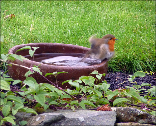 Robin emerging from a bath