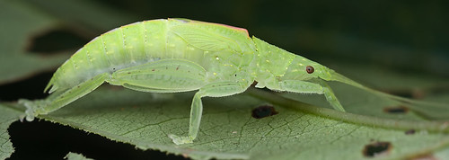 Acauloplacella or something close to this genus. It is a Pseudophyllinae, Phylomimini (Tettigoniidae) IMG_8619 merged copy